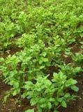 Pianta di patate 01 Fotografie Stock Libere da Diritti