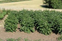 Pianta di patate Fotografia Stock Libera da Diritti