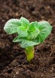 Pianta di patate Immagine Stock Libera da Diritti