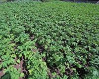 pianta di patate che matura nel giardino dell'agricoltore a giugno in Fotografia Stock