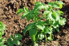 Pianta di patate verde Foglia della verdura Agricoltura dell'alimento biologico in giardino, nel campo o in azienda agricola Fotografia Stock