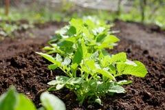 Pianta di patate verde Foglia della verdura Agricoltura dell'alimento biologico in giardino, nel campo o in azienda agricola in u Fotografie Stock