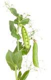 Pianta di piselli con le piante degli ortaggi freschi Immagini Stock