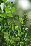 pianta di pisello Fotografie Stock