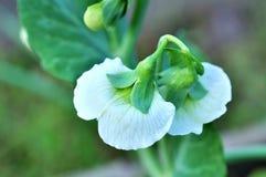 Pianta di pisello con le fioriture bianche Fotografie Stock