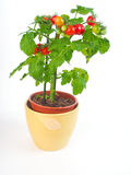 Pianta di pomodori Immagine Stock