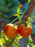 Pianta di pomodori Immagine Stock Libera da Diritti
