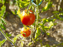 Pianta di pomodori Fotografie Stock