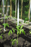 Pianta di pomodori che cresce nella serra Fotografie Stock Libere da Diritti