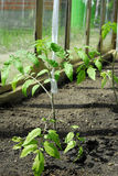 Pianta di pomodori che cresce nella serra Immagine Stock Libera da Diritti