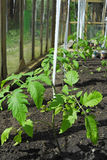 Pianta di pomodori che cresce nella serra Immagine Stock