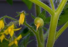 Pianta di pomodori che germoglia in primavera Fotografie Stock