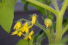 Pianta di pomodori che germoglia in primavera Fotografia Stock