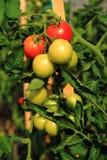 Pianta di pomodori con i pomodori Fotografia Stock