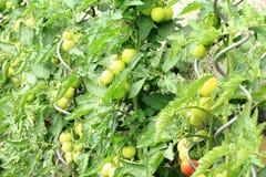 Pianta di pomodori con i pomodori Fotografie Stock Libere da Diritti