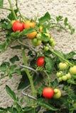 Pianta di pomodori con i pomodori Fotografia Stock Libera da Diritti