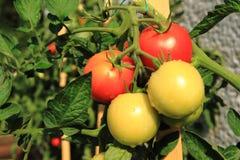 Pianta di pomodori con i pomodori Immagine Stock