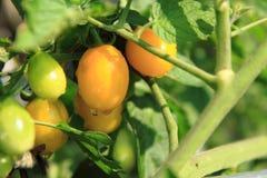 Pianta di pomodori con i pomodori Immagini Stock Libere da Diritti