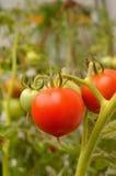 Pianta di pomodori con i pomodori freschi Fotografia Stock Libera da Diritti