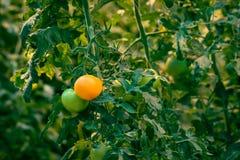 Pianta di pomodori con i pomodori freschi Fotografia Stock