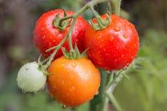 Pianta di pomodori con la rugiada di mattina fotografia stock libera da diritti