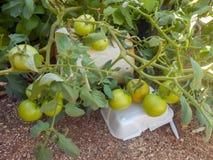 Pianta di pomodori conservata in vaso non matura matura immagine stock libera da diritti