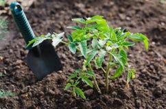 Pianta di pomodori crescente in un orto Immagine Stock