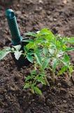 Pianta di pomodori crescente in un orto Fotografia Stock