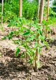 Pianta di pomodori del bambino nell'orto Fotografia Stock Libera da Diritti