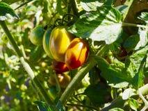 Pianta di pomodori della pera Fotografia Stock Libera da Diritti