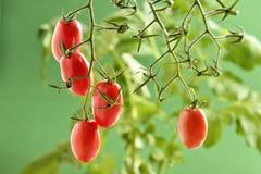 Pianta di pomodori di Piccadilly Fotografia Stock Libera da Diritti