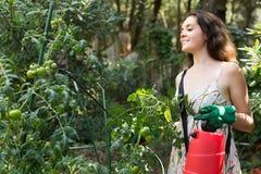 Pianta di pomodori di spruzzatura del giardiniere femminile Fotografie Stock