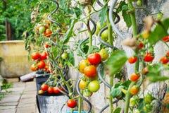 Pianta di pomodori fresca Fotografia Stock Libera da Diritti