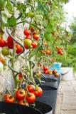 Pianta di pomodori fresca Fotografia Stock