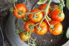 Pianta di pomodori fresca Immagine Stock Libera da Diritti