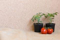 Pianta di pomodori fresca e pomodori freschi Immagini Stock Libere da Diritti