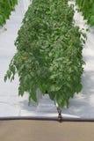 Pianta di pomodori idroponica Immagini Stock Libere da Diritti