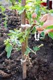 Pianta di pomodori legata con la corda Immagine Stock