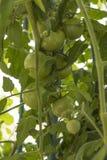 Pianta di pomodori (lycopersicum del solano) Immagini Stock Libere da Diritti