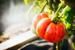 Pianta di pomodori matura in giardino Fotografia Stock