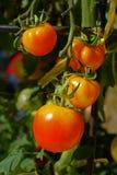 Pianta di pomodori nel giardino Fotografia Stock Libera da Diritti
