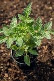 Pianta di pomodori nel giardino, crescente e piantante dai pomodori Fotografie Stock Libere da Diritti