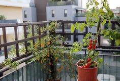 Pianta di pomodori nel vaso sul terrazzo di una casa Immagini Stock
