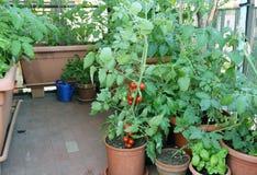 Pianta di pomodori nel vaso sul terrazzo di una casa nella città Immagine Stock