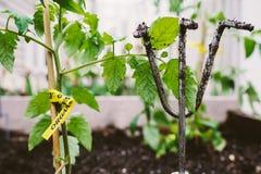 Pianta di pomodori organica Fotografia Stock Libera da Diritti