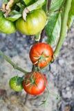 Pianta di pomodori rossa matura in giardino Fotografie Stock Libere da Diritti