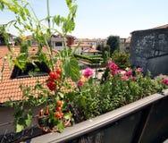 Pianta di pomodori rossa nel balcone Immagini Stock