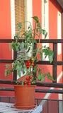 Pianta di pomodori rossa sul terrazzo di una casa Fotografia Stock