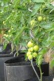 Pianta di pomodori verde Fotografia Stock Libera da Diritti