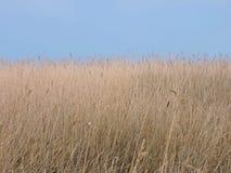 Pianta di Reed Immagini Stock